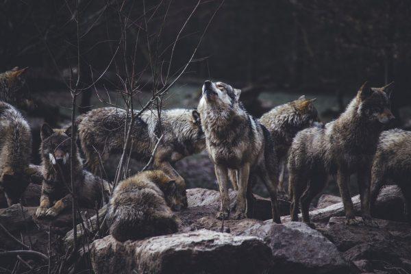 集団生活するオオカミ