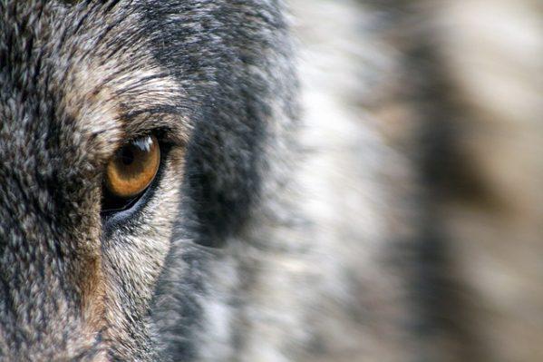 ドアップのオオカミ