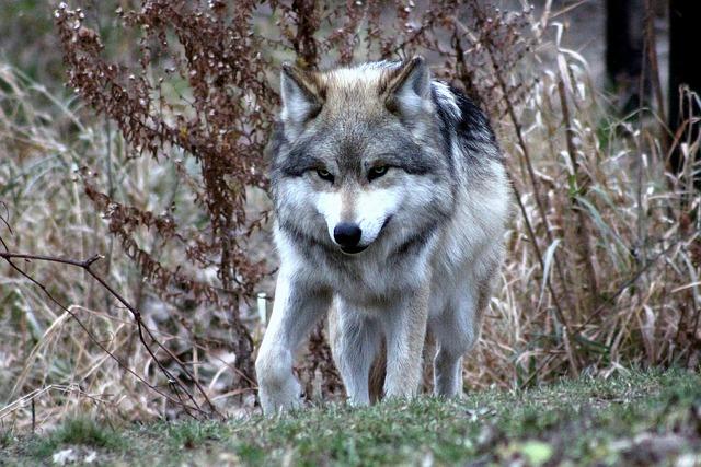 険しい顔つきのオオカミ