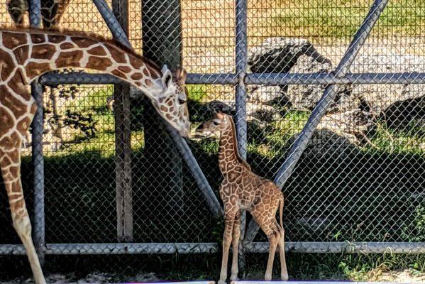 動物園のキリン