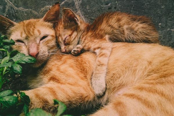 親子の猫の写真