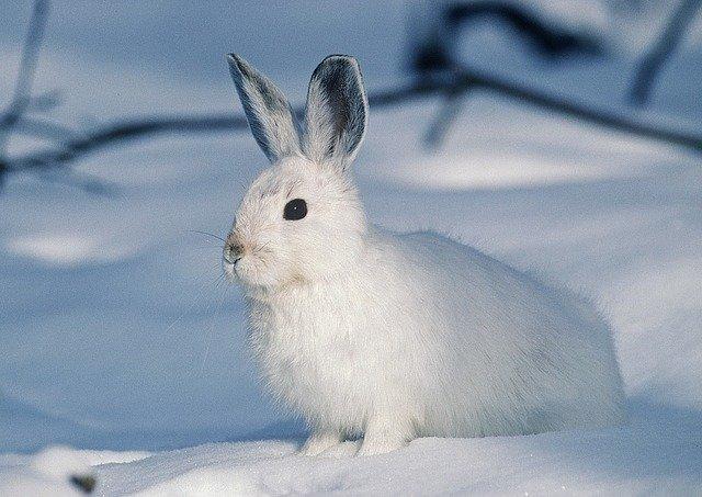 雪の白うさぎ