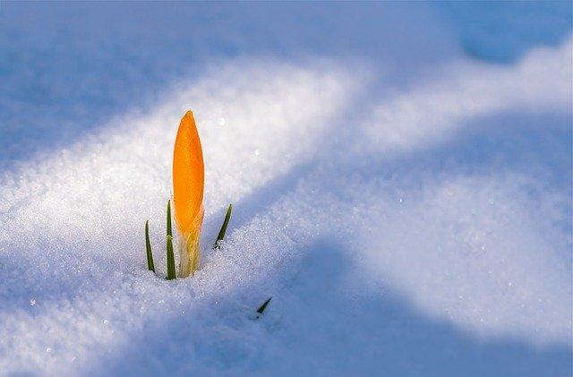 雪の中の花